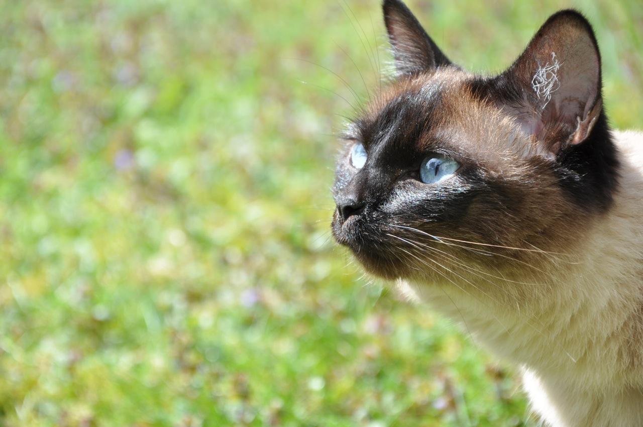 Siamkatze, Katze, Garten