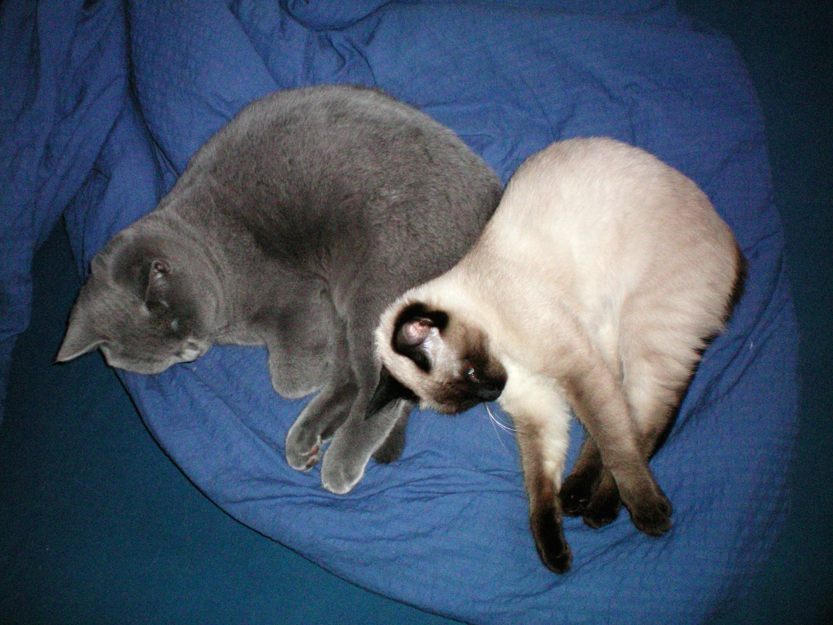 Siamkatze, British Kurzhaar Katze, Babykatze