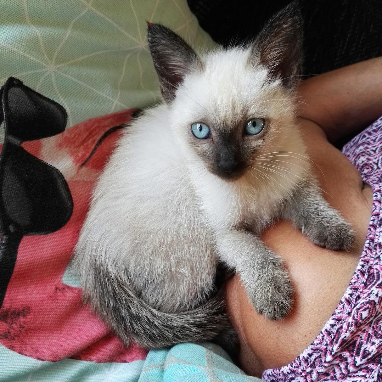 Haustiere mit kleinen Kindern Siamkatze Babykatze